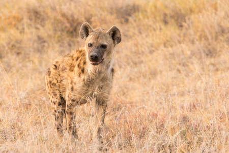 spotted hyena in Etosha National Park Banco de Imagens