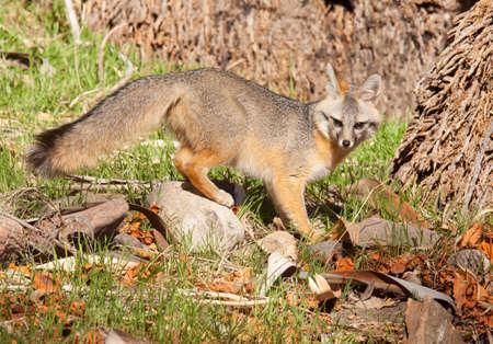 Beautiful grey fox stops mid stride to look at camera