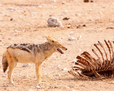 Black-backed jackal stops at giraffe carcass Banco de Imagens