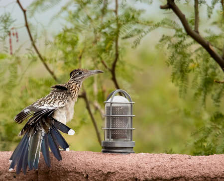 Roadrunner spreads its tail feathers while perched on wall