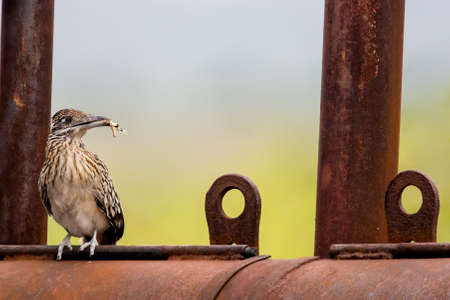 roadrunner with captured dragonfly perched atop rusty outdoor grill