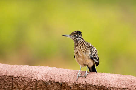 roadrunner perched on wall in early morning Banco de Imagens