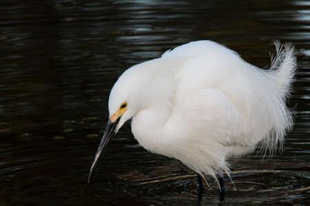 snowy egret fishing at Indian Bend Wash, Scottsdfale