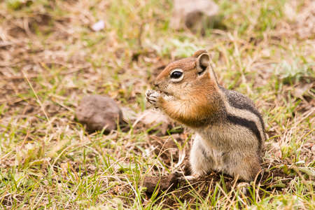 golden-mantled ground squirrel staqnding on hind legs and eating