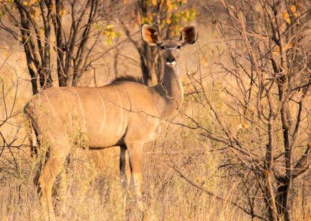 female greater kudu in Etosha National Park, Namibia 26 Sep 2013 Stock fotó