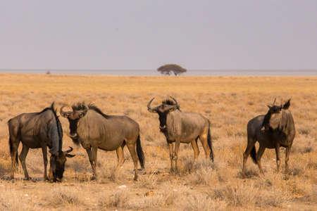 blue wildebeest in Etosha National Park, Namibia 25 Sep 2013 Stock fotó