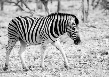plains zebra in Etosha National Park, Namibia on 25 Sep 2013 Banco de Imagens