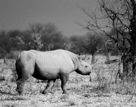endangered black rhinocerous in Etosha National Park, Namibia on 25 Sep 2013 Banco de Imagens