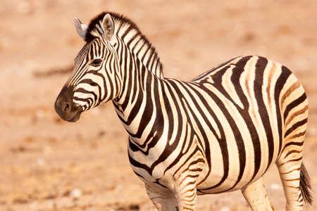 Plains zebra in Etosha National Park