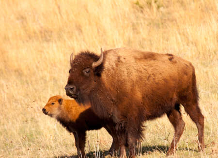 Bison mother and calf in Custer State Park Banco de Imagens