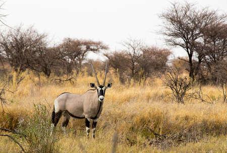 Gemsbok (Oryx) in Etosha National Park, Namibia 26 Sep 2013