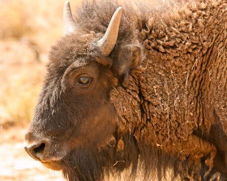 Profile view of bison at AZGFD Raymond Wildlife area Banco de Imagens