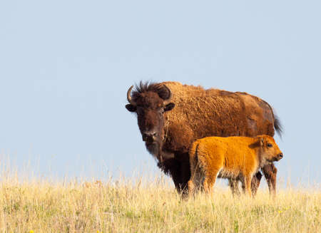 Mother bison and calf grazing in grasslands in Custer State Park