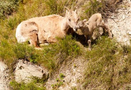 Mother and ewe Rocky Mountain bighorn sheep nuzzling in Badlanbds, South Dakota