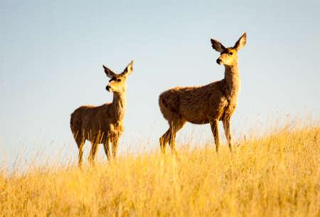 Pair of mule deer in morning sun at Custer State Park Banco de Imagens