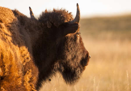 Male bison in morning sun at Custer State Park Banco de Imagens