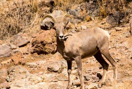 Male desert bighorn sheep at Canyon Lake, Arizona Stock fotó