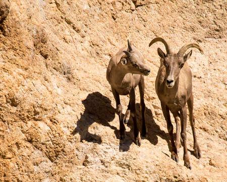 Female desert bighorn sheep and ewe at Canyon Lake, Arizona