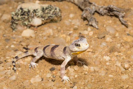 Carps barking gecko on sand. Stock fotó