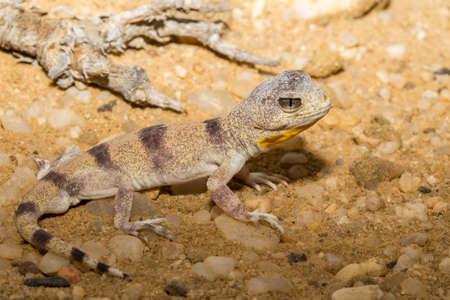 Carps barking gecko closeup