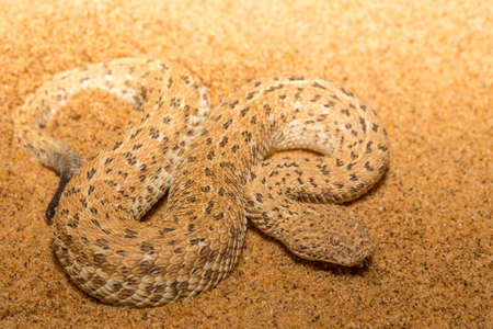 Peringuey's adder in Namibia