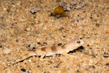 Carps barking gecko in Namib desert.