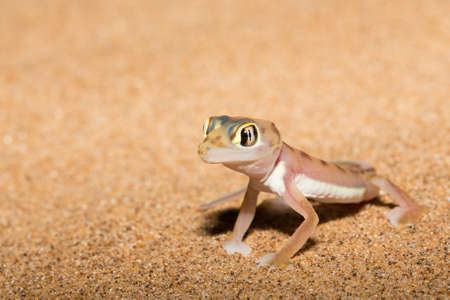 web-footed gecko doing pushup in Namib desert. Banco de Imagens