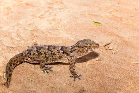 thick-toed Turner's gecko in Namib desert Banco de Imagens