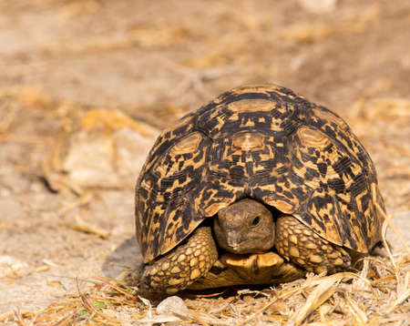 Head-on view of leopard tortoise in Grootfontein, Namibia.