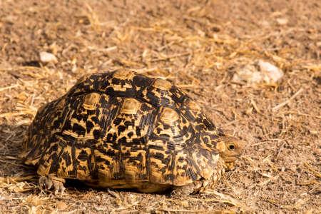 Leopard tortoise in Grootfontein, Namibia .