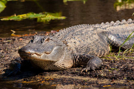 Alligator is sunning in a Florida state park. Stock fotó