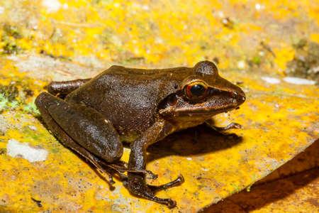Leptodactylus frog at Tandayapa Lodge, Ecuador.