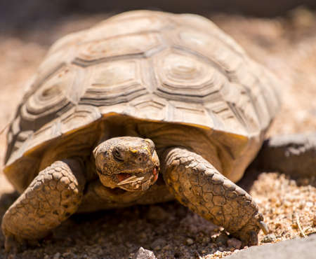 Close-up view of Sonoran desert tortoise.