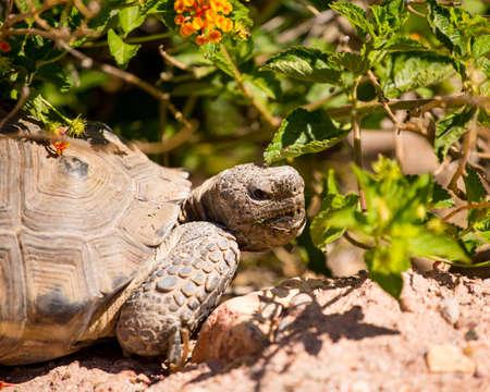Close-up profile of a Sonoran desert tortoise. Banco de Imagens