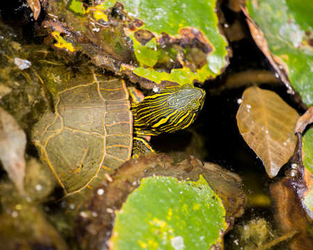 This painted turtle was submerged and swimming under cover of lilypads before surfacing. Banco de Imagens - 133030774