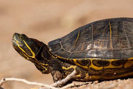 Pond slider turtle in Arizona.