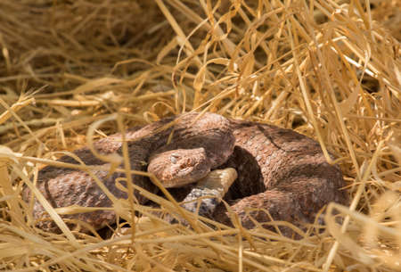 speckled rattlesnake coiled in tall grass Banco de Imagens