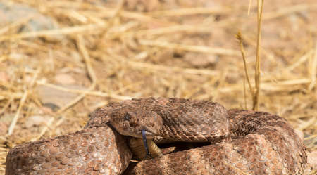 speckled rattlesnake coiled and tongue flick
