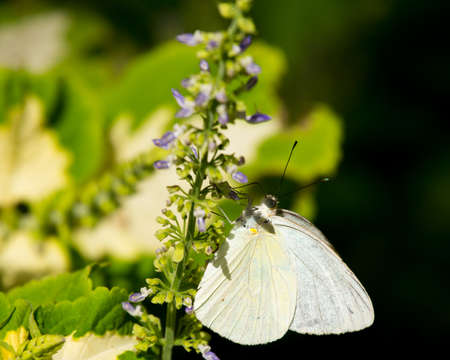 Great southern white butterfly perched on purple wildflower