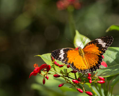 captive malay lacewing shown with red flowers