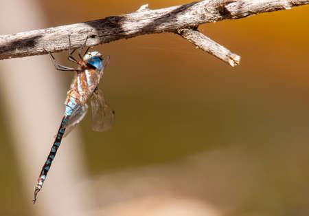 Blue-eyed darner hanging vertical in Prescott, AZ
