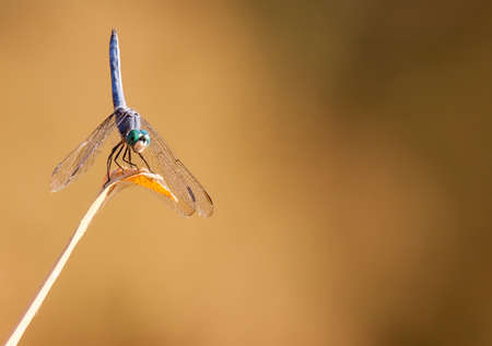 blue dasher perched nose-down at Tres Rios Wetlands in Phoenix, AZ Stock fotó