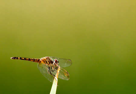 Spot-winged glider at Tres Rios Wetlands in Phoenix, AZ Stock Photo