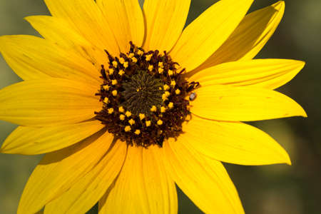 Closeup of yellow flower with brown center