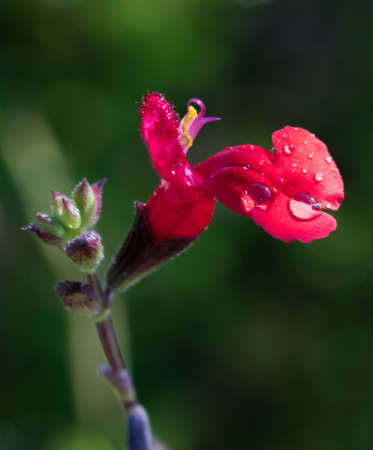 close-up of red flower with dew drop at Desert Botanical Gardens in Phoenix, AZ