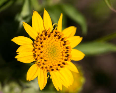 closeup of yellow flower with large center Banco de Imagens