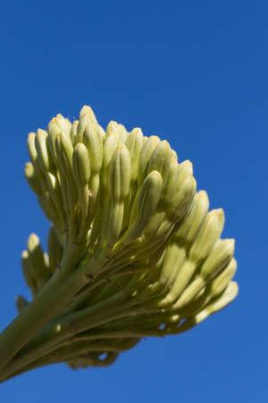 close-up of side-lit yucca Banco de Imagens