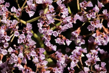 closeup of shrub with small purple flowers Banco de Imagens