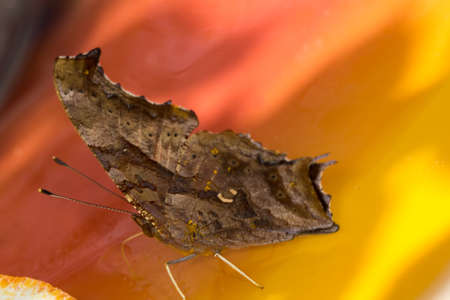 Question mark butterfly looks like a leaf