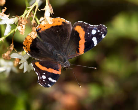 Red admiral butterfly perched upside down
